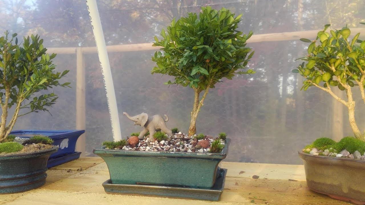 How I Make A Bonsai Tree From 50 Off Nursery Stock