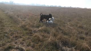 Собаки веселятся  -  самоед и ризеншнауцер