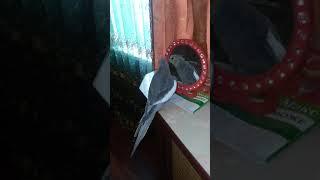 Попугай корелла поет песню Чиполлино