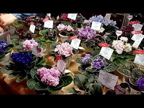 Комнатные цветы. Выставка. Краснодар. Фиалки.