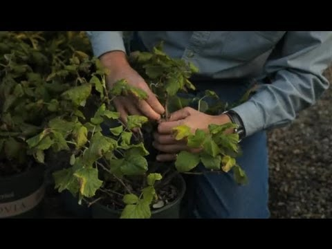 How to Protect Raspberries : Professional Gardening Tips