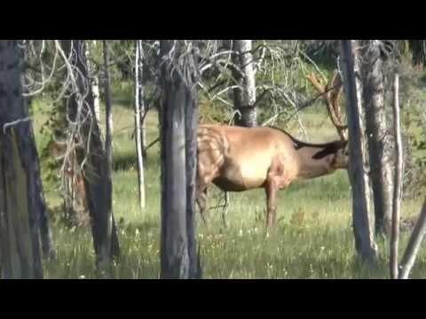 Yellowstone   7 July '14   Elk Encounter #2
