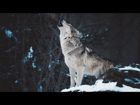 Вопрос: Как выть по волчьи?