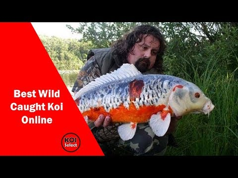 Incredible wild caught koi on the net by koi select for Japan koi wild