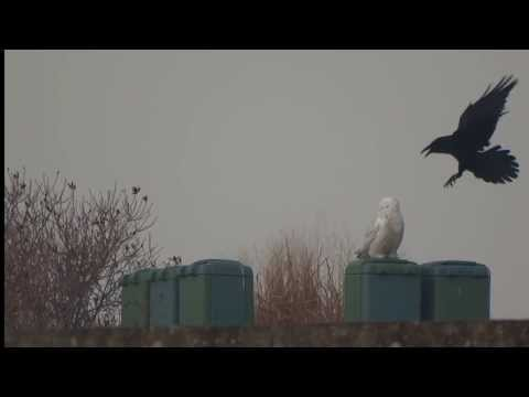 snowy owl and raven, a conversation between two birds on a golfcourse
