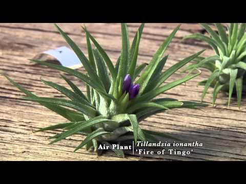Air Plants: Biology and Diversity