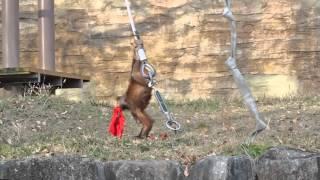 申年に赤いパンツをはくと健康に過ごせるそうです。 多摩動物公園 2016...