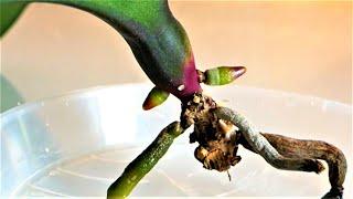 Быстро нарастить корни Орхидеи, самый простой и работающий метод/Реанимация взрослой Орхидеи