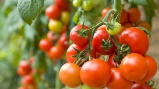Mordern Farming  -  Production of Tomatoes in greenhouses