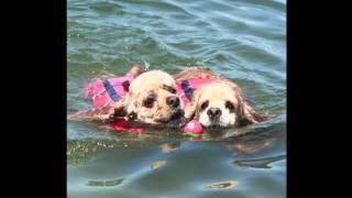 毎年恒例☆友だちワンコが集まってスイミング〜♪ 今年も上手に泳げました。