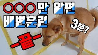 강아지 배변훈련 시키기. 실수없이 교육 하는 방법
