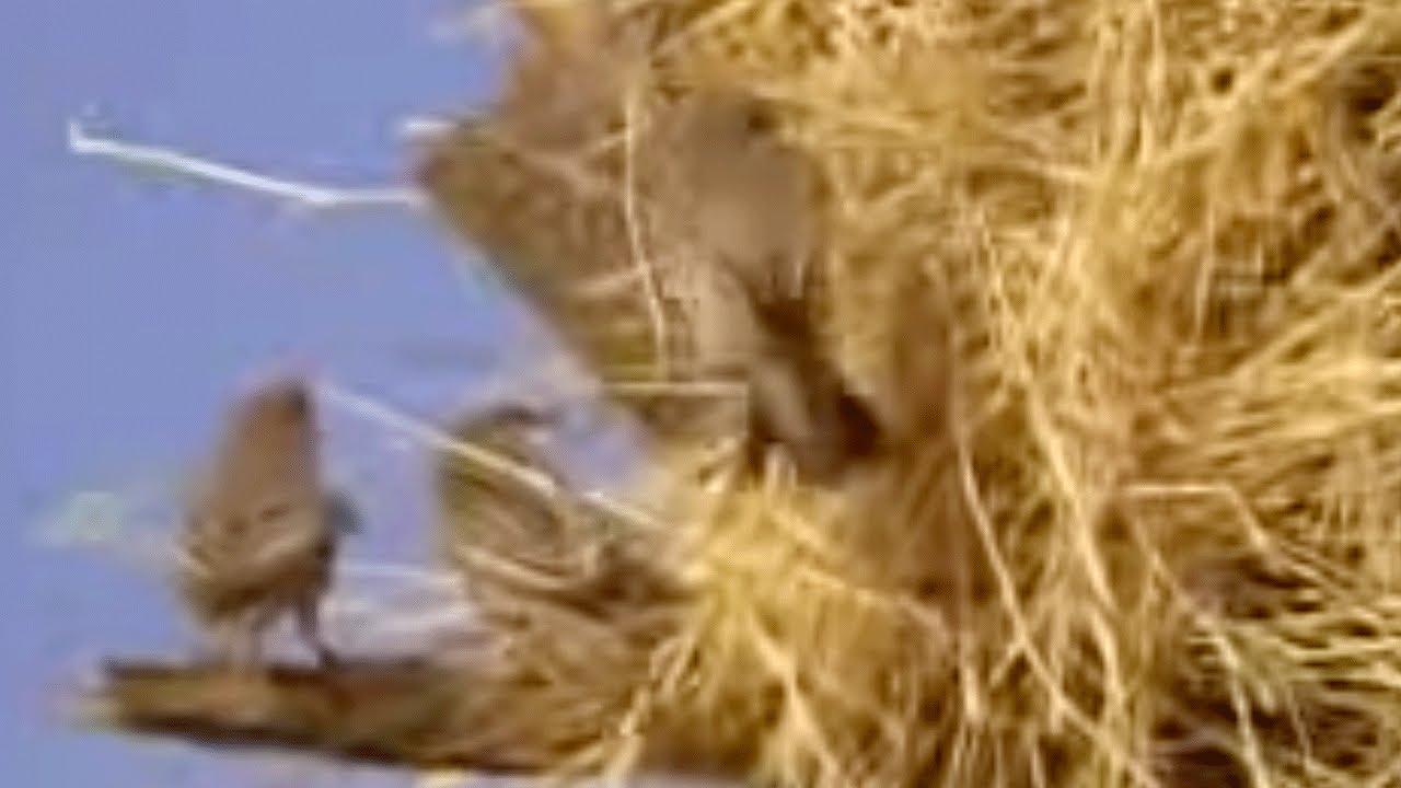 Как маленькая птица строит самые большие гнезда длиной до 8 метров?