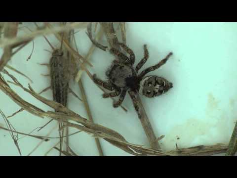 Jumping Spider Catches a Silverfish