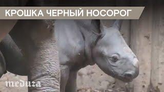 видео Носороговые