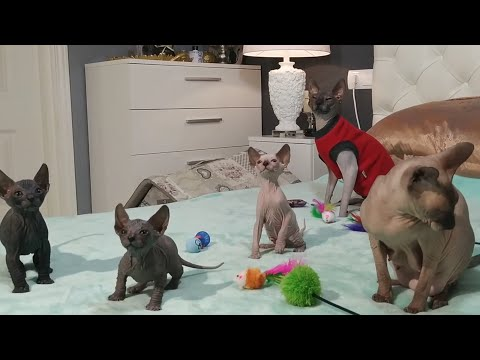 Sphynx kittens playing in the bed / Mommy & Daddy  watching / DonSphynx