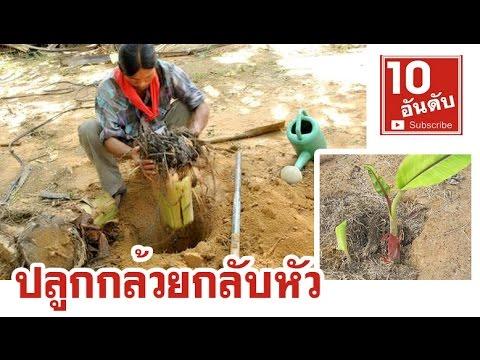วิธีการปลูกกล้วยกลับหัว ปลูกกล้วยแบบใหม่ | เกษตรผสมผสาน