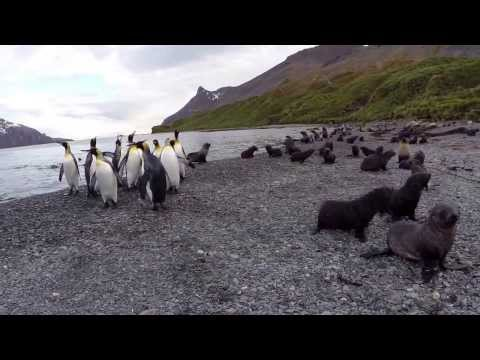 South Georgia Island 2014 - Penguins and Pups