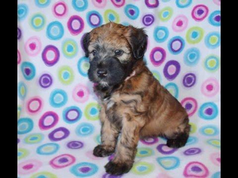 Velvet, a Wheaten Terrier Puppy from Celebritypups.com
