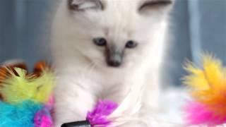 Etienne (питомник кошек marikota.com)