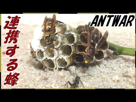 蟻戦争Ⅲ#40 ハチの巣ごとアリに与えたら戦争が勃発した【前編】編~Beehive vs Ant's Nest~