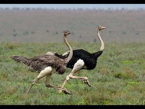Ostrich Run  YouTube