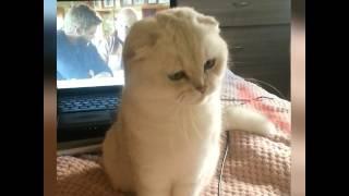Шотландская вислоухая кошка. Серебристая шиншилла в добрые руки.