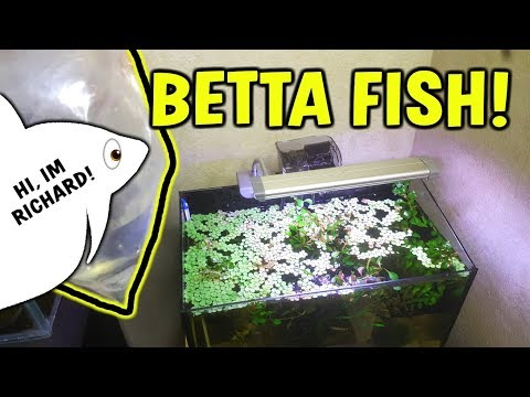 NEW BETTA FISH REVEAL! -  Betta Fish Care Guide