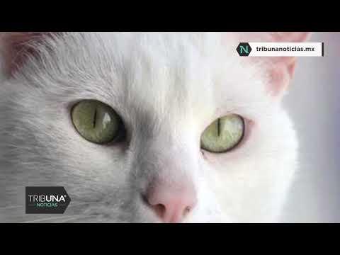 """Gato Portador Del Coronavirus En Bélgica, Un Caso """"aislado"""" Según Expertos"""