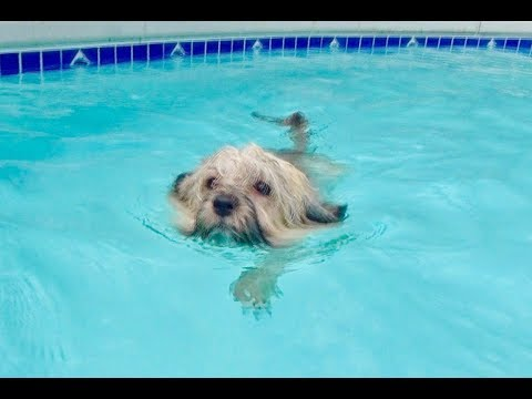 Havanese Dog Swimming in a Pool
