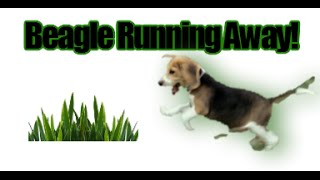How To Train A Beagle To Not Run Away!  Beagle Temperament...