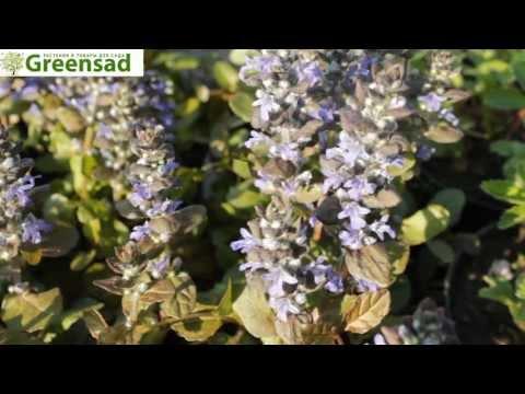 Живучка (синий) - видео-обзор от Greensad