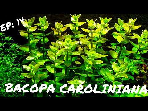 BEGINNER PLANT:  Bacopa Caroliniana