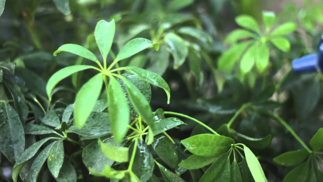 How To Make The Leaves Of A Schefflera Plant Shiny Solving Plant