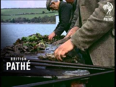 Oyster Farming Beware - Other Colour Pics Share This Title (1956)