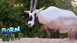 Born to be Wild: Arabian Oryx comes back from the brink of extinction