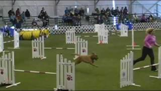 First And Only Dogue De Bordeaux To Compete In Akc National Agility Invitational, 2009!