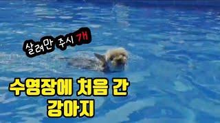 """새끼강아지 """"요크셔테리어""""의 첫 물놀이 경험. 강아지 …"""