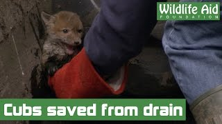 Little fox cubs saved from drowning in a storm drain