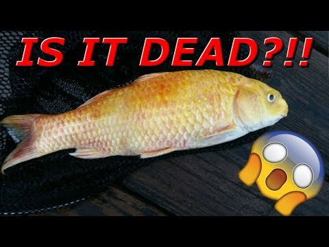 HOW TO REVIVE A KOI FISH!!!