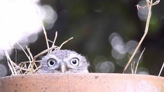 Cute Owl Plays 'Peek-a-boo' With Dad