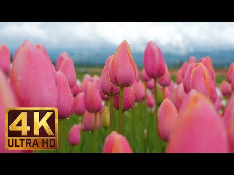 4K Flowers Video for Relaxation + Piano Sounds - 3 HRS | Wooden Shoe Tulip Festival. Episode 2