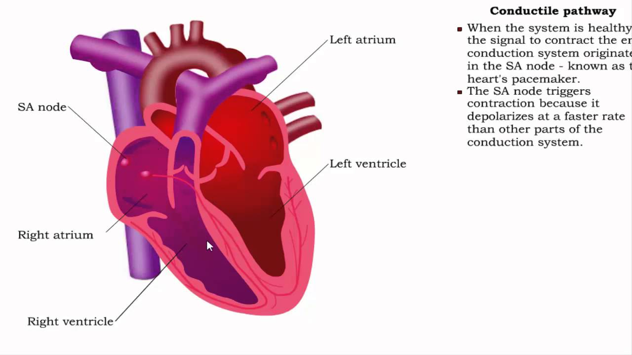 Conductive system of the heart and cardiac function (5-2016) by Dr ...