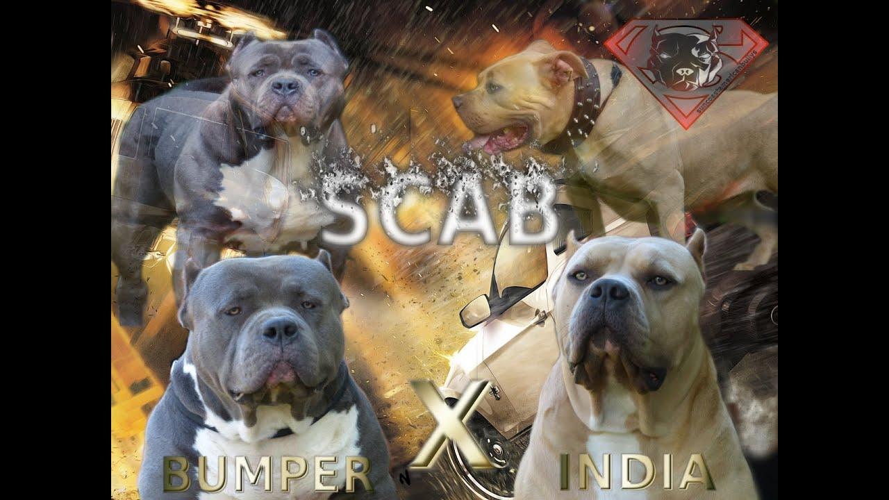 Xxl American Bully Puppies Xl Pitbull Puppies Biggest Pitbull