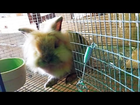 Early Morning Rabbit Chores