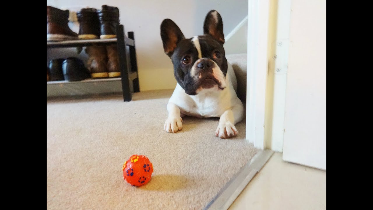 French Bulldog s Favourite Toy
