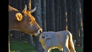 La raza bovina Bruna dels Pirineus. Andorra