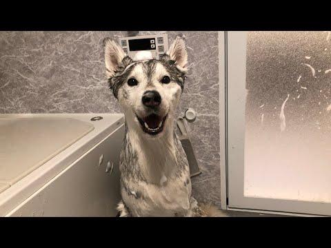 お利口にお風呂に入るも終わった後の喜びは半端ないシベリアンハスキー