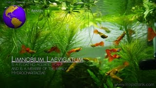 Floating Aquatic Plants (limnobium Laevigatum - Amazon Frogbit)