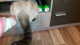 Любопытная Беременная кошка