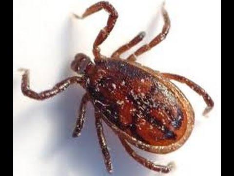 Como acabar com as pulgas e carrapatos em gatos e - Acabar con las pulgas en casa ...